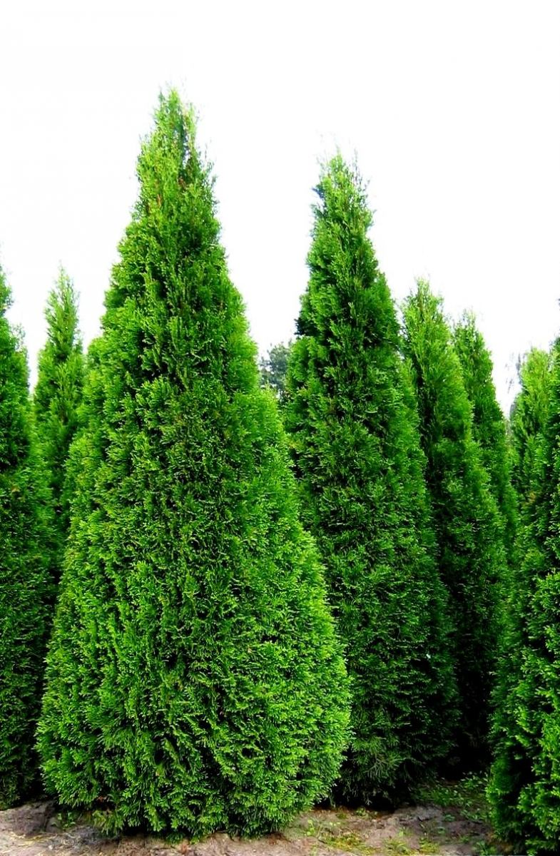 Туя западная Колумна 26 фото описание колоновидного сорта посадка семян и правила ухода скорость роста и применение в ландшафтном дизайне